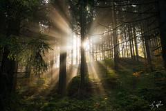 GST_1261 (Gordon Stver) Tags: forest tree sunbeams fog