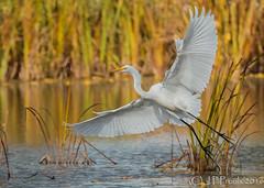 Grande Aigrette / Great Egret (proxy46) Tags: 2016 80400mm grandeaigrette nikon parcdelafrayre d500 oiseau chassier