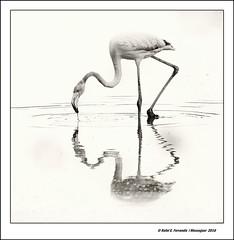 Flamenc al Rac de l'Olla 19 (Phoenicopterus roseus) Flamingo 19 (Valncia, l'Horta, Spain) (Rafel Ferrandis) Tags: flamencs racolla reflexos bn eos7dmkii ef100400mmf4556lii