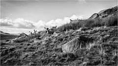 Goldsborough . (wayman2011) Tags: canon5d lightroom wayman2011 bwlandscapes mono sheep farmannimals rocks fells pennines dales baldersdale teesdale goldsborough countydurham uk