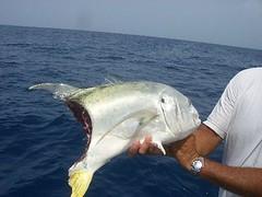 getPart-3 (rolyrol1982) Tags: shark attack florida keys key west fishing amber jack tarpon deep sea bite bitten