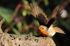 Duck, nuthatch overhead (david.england18) Tags: robinredbreast robin smallbirds various tits blue great coal queensparkheywood canon7d canonef300mmf4lisusm birdsuk