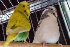 Birdy Birdy (Sheptonian) Tags: pets cute birds budgie yellow