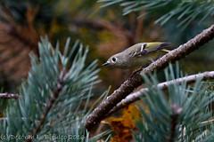 Ruby-crowned kinglet (dbifulco) Tags: rcki bird nature newjersey nikkor300 outdoor pines rubycrownedkinglet wildlife yard