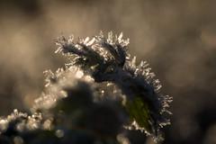 In a frosty world (Infomastern) Tags: söderslätt cold frost kallt macro makro