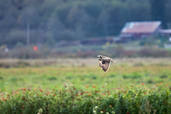 Short-eared Owl (vickie_s) Tags: owl