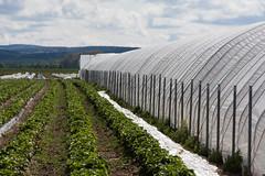 ckuchem-0826 (christine_kuchem) Tags: ackerrand agrarlandschaft erdbeeren erdbeerfeld feld felder folie folientunnel freiland gewchshaus landwirtschaft mulch mulchdecke treibhaus mulchen