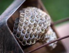 Paper Wasp Nest (piano62) Tags: paperwasp insects sting urbanwildlife urbannature home garden birdfeeder chicago nikond750 nikon105mmf28vr