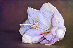 Amaryllis (novofotoo) Tags: blumen composing digitalimaging echteamaryllis flowers focusstacking hippeastrum makro motiv natur rittersterne spargelgewchse macro nature