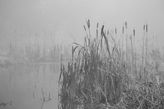Whisper (Ged Slaughter Photography) Tags: whisper fog mist misty reeds dunham dunhammassey landscape nationaltrust nature bw nt gedslaughter wintery cold rushes