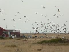 A flock of seagulls (JuliaC2006) Tags: dungeness shingle beach coast gulls birds