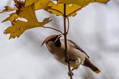 I see food (davidrhall1234) Tags: waxwing wildlife world wildlifetrust woodland nature nikon nikond7100 birds bird birdsofbritain yorkshire feather