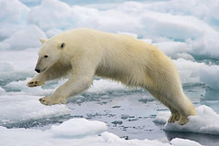 test 2 (rschumann) Tags: 2011 action arctic bear europe fauna jump land libro mammal marinemammal nature norway plantigrade polarbear predator spitsbergen svalbard top10 top100 ursusmaritimus wildlife wpy12