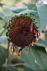 Alle, die in Schnheit gehn, werden in Schnheit auferstehn. (***toile filante***) Tags: flower sunflower blume sonnenbl ume nature natur beauty beautiful poetic poetisch macro makro dof bokeh