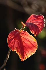 Le jeu de la lumière. / The game of the light. (alainragache) Tags: automne autumn foliage leaves leaf rouge orange canon600d
