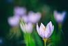 Fall flowers. (mucahidefendi) Tags: flower macro nikon nature crocus
