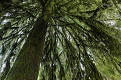 under the tree (rainbow wasabi) Tags: green tree moss rainy season oregon pacific northwest usa america nature landscape