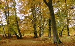 New Forest NP, Hampshire, England (east med wanderer) Tags: england uk hampshire lyndhurst markashwood trees forest woodland beech oak bracken newforestnationalpark autumn