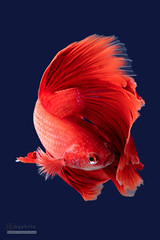 Red Dynamic (syphrix photography) Tags: siamese fighting fish syphrix singapore pet betta splendens aquarium aquatic animal red territorial small spread fin flare long tail elegant colourful freshwater canon 2016 fight portrait