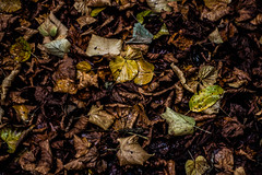 Damp leaves (GarethBell) Tags: nature fauna autumn canoneos450d canon wales northwales anglesey beaumaris