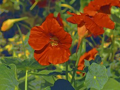 Showy Tom Thumb! (maginoz1) Tags: flower flora abstract art manipulate curves bullarosegarden tomthumb bulla melbourne victoria australia spring november 2017 canon g16