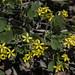 golden currant, Ribes aureum var. aureum