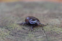 Last walk before hibernation (Kuinamor) Tags: insect insecte bousier macro dof pdc pentax k1 verzy champagne reims geotrupesstercorosus géotrupestercoraire dorbeetle