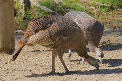 Wild Turkey Hens @ Le Parc Omega (Jeannot7) Tags: parcomega montebello québec turkey hen bird birdwatcher