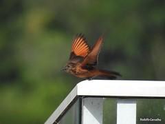 Gibo de couro - one shot (-Rodolfrito-) Tags: bird passaros aves gibo de couro