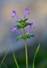 natural arrows (robra shotography []O]) Tags: arrow macromonday macromondays bokeh blur weed wildflower