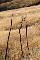 Alright, Break It Up (nedlugr) Tags: california ca usa yucca dry drygrass drought santabarbaracounty santaynezvalley hills wildoats