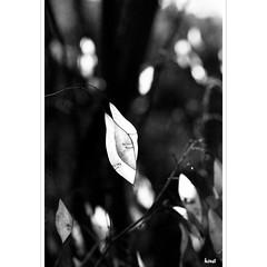Organic (horstmall) Tags: silberblatt lunaria silbertaler silberling judaspfennig mondviole monnaiedupape herbeauxcus mdailledejudas satinblanc wald forest fort bois woodland wldchen light licht lumire schatten ombre shadow nature natural natur natrlich naturelle form shape donnstetten schwbischealb jurasouabe swabianalps zatzengrube horstmall bw sw schwarzweis noiretblanc monochrome