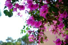 Bougainvilliers (jpto_55) Tags: bougainvillées fleur provence xe1 fuji fujifilm fujixf1855mmf284r var france