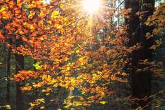 In der Sonne leuchten die Herbstbltter besonders hell (Fotos4RR) Tags: herbstblatt herbst herbstfarben autumn autumnleaves autumncolors autumncolours herbstbltter wald forest gegenlicht sonne sonnenlicht sunshine sun baum tree