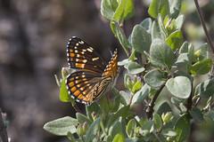 Chlosyne cyneas (Cyneas Checkerspot) (K. Zyskowski and Y. Bereshpolova) Tags: mexico butterfly nymphalidae nymphalinae chlosyne cyneas checkerspot