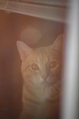 Untitled (Mason Aldridge) Tags: kitten kitty cat cute sweet soft cuddly tabby calico bokeh portrait pet pets canon 6d 80200 8020028 f28 70200 flare haze softfocus mood