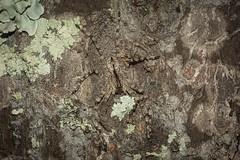 Pediana regina (dustaway) Tags: arthropoda arachnida araneae araneomorphae sparassidae pedianaregina queenofthehuntsmen queenpediana australianspiders spideronbark flindersiaaustralis crowsash coomeravalley clagiraba sequeensland queensland australia nature spinne