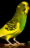 IMG_0038_1 (robelot0) Tags: budgie stretching stretches tall