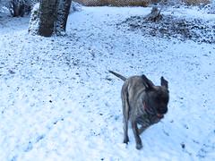 IMG_8065 (glaukos) Tags: englishmastiff dog
