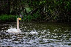 Cygnets (Jonas Thomn) Tags: water grass forest swan waves litter skog chicks bushes vatten cygnets offspring svan vgor buskar grs ungar