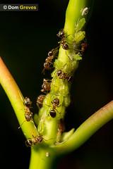 Honeydew Harvest (Dom Greves) Tags: uk woodland insect spring wildlife ant farming may honeydew surrey chestnut aphid invertebrate harvesting behaviour mutualism