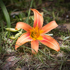 Day Lily (gtncats) Tags: flower nature daylily photographyforrecreation