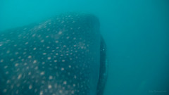 Whale shark of Donsol, Sorsogon (julesnene) Tags: travel beach nature lines mouth southeastasia snorkel philippines snorkeling adventure whaleshark dots majestic underwaterphotography sorsogon gentlegiant donsol butanding canoneos50d julesnene juliasumangil whalesharkcapitaloftheworld