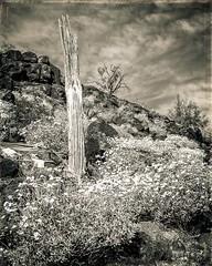 67A Desert View Paule Hjertaas (paule48) Tags: arizona landscape skeleton saguaro brittlebush enceliafarinosa arizonausa deserthabitat mountainlandform barrygoldwaterairforcerange