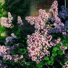 149. lilacs (megnificent!) Tags: flowers spring lilacs project365 149365