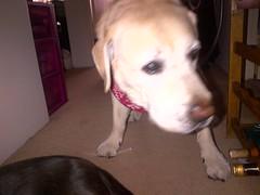 Maxxie (missjessicab) Tags: dogs 1750 maxxie