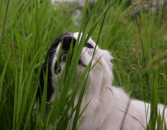 Munchies (Crawford Canines) Tags: bordercollie eatinggrass