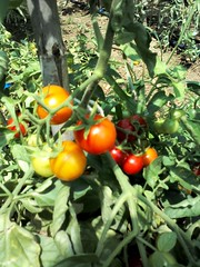 Tomatoes (eltpics) Tags: tomato gardening tomatoes vine vegetable smell bunch growing allotment tomatoplants cherrytomatoes eltpics