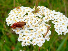 ~~ Busy Bugs and Observer! ~~ /Red soldier beetle /