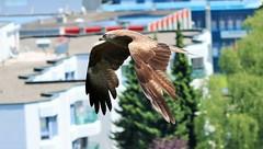 Rotmilan (Red Kite) (Milvus milvus) (Satriver) Tags: red kite bird birds canon switzerland inflight wildlife raptor birdsinflight bern soaring milvus milvusmilvus 70d bumpliz rotmilan